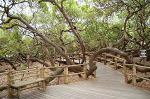 3.O cajueiro de Pirangi é considerado o maior do mundo. Sua copa ocupa 8.500m², o que mede por volta de 70 árvores colocadas lado a lado, produzindo cerca de 60 mil cajus por safra. Parada obrigatória, principalmente para quem nos visita pela primeira vez.